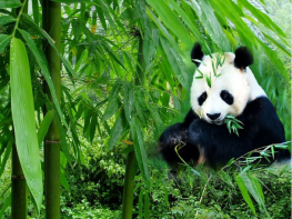 13 Days China Panda Train Tour with Yangtze Cruise
