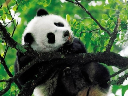 13 Days China Tibet Tour with Lovely Pandas